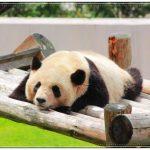 関西でパンダに会える動物園はどこ?行き方や休園日・営業時間、かわいい画像も