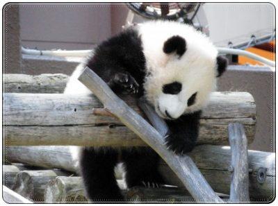 パンダ、動物園、会える