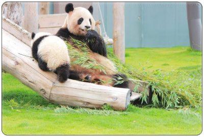 パンダ、赤ちゃん、かわいい