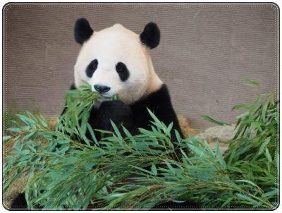 パンダ、かわいい、動物園