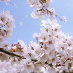 2017桜・お花見!関東地方で雨でも室内鑑賞できる場所を紹介!今年流行のエアー花見とは?