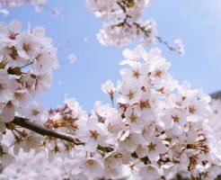 桜、花見、エアー花見
